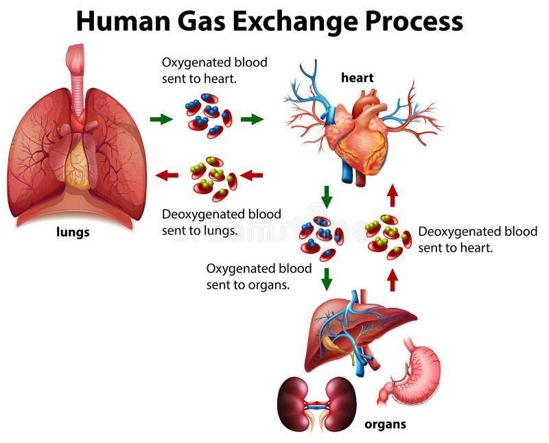 Человеческая диаграмма процесса обменом газа иллюстрация вектора