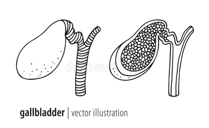 Человеческая иллюстрация желчного пузыря анатомии иллюстрация вектора