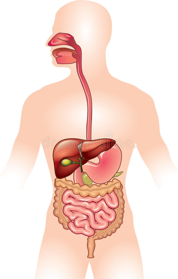 Человеческая иллюстрация пищеварительной системы иллюстрация штока