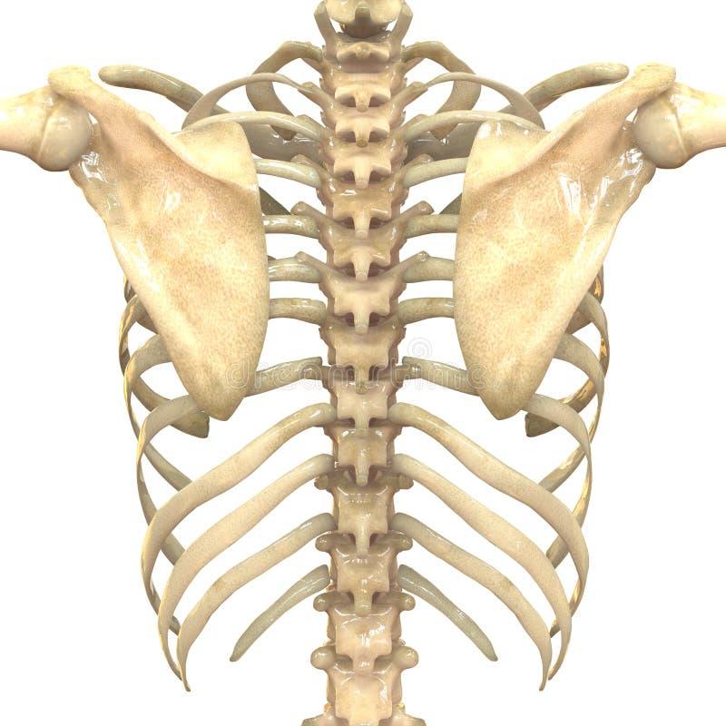 Человеческая каркасная система (анатомия косточек) иллюстрация вектора
