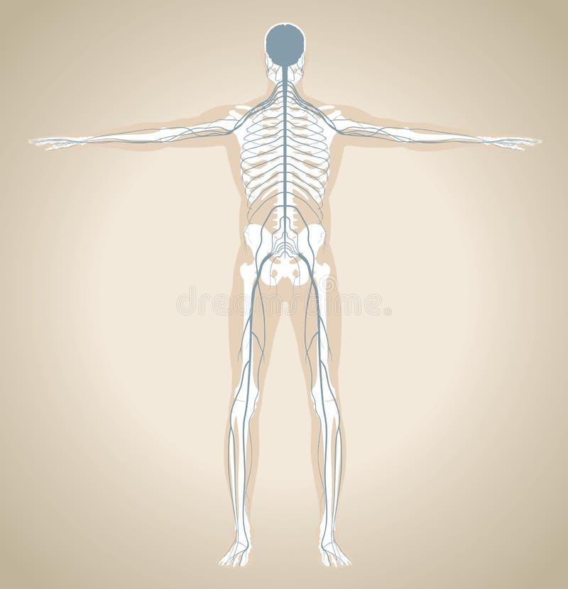 Человеческая нервная система иллюстрация вектора