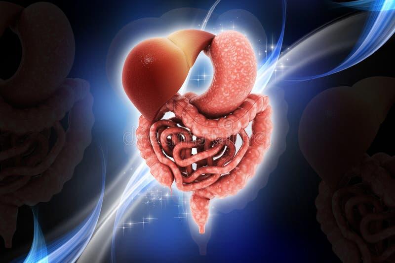 Человеческая пищеварительная система бесплатная иллюстрация