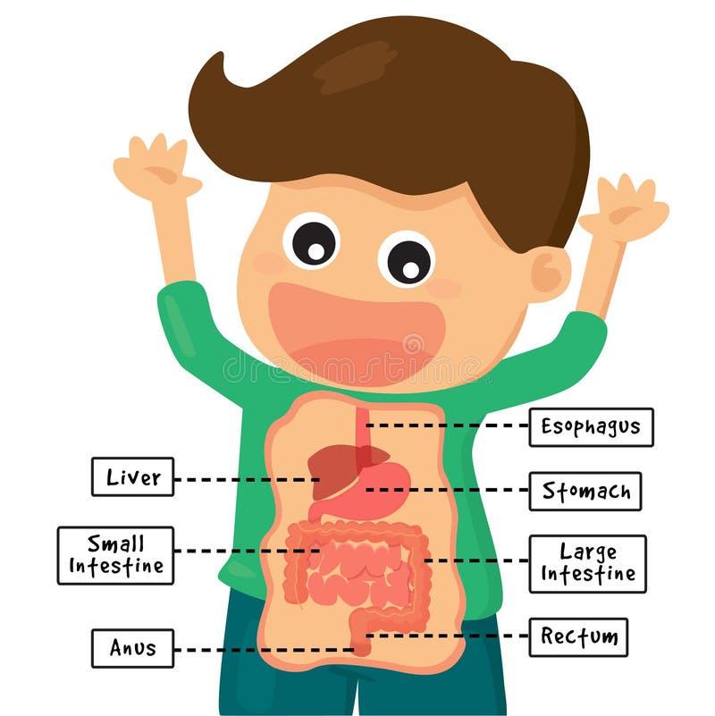 Человеческая система пищеварения иллюстрация штока