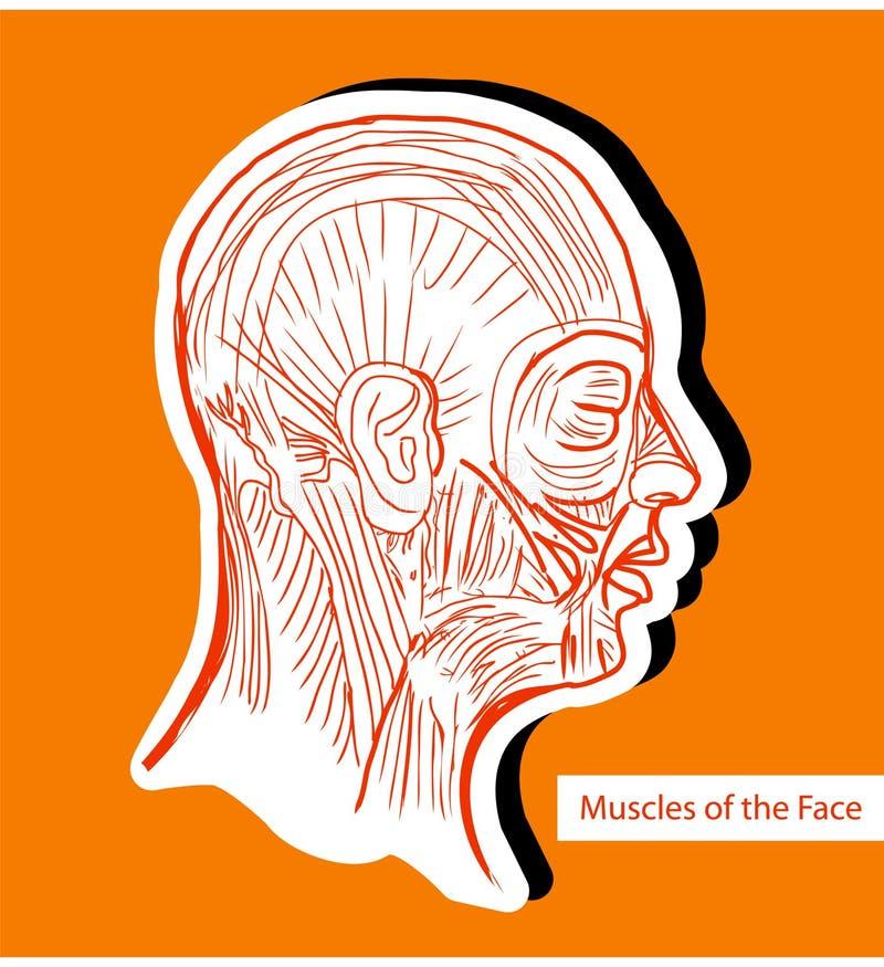 Человеческие мышцы стороны (лицевых мышц) - медицинский Il anatomie иллюстрация вектора
