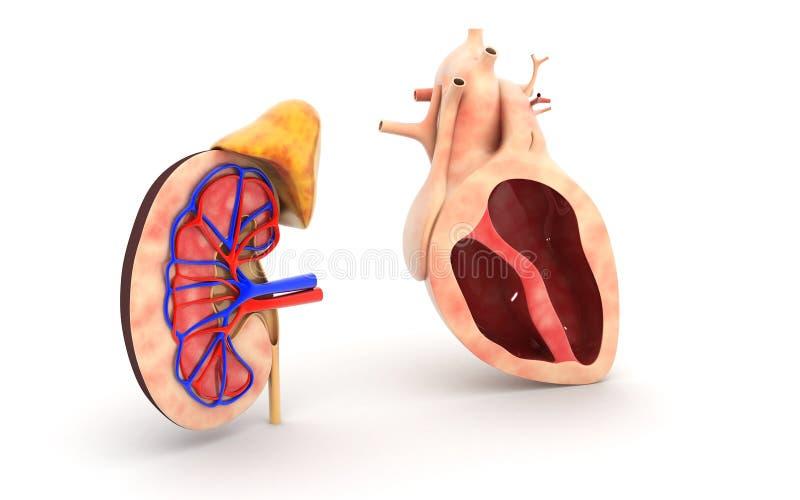 Человеческие сердце и почка иллюстрация штока