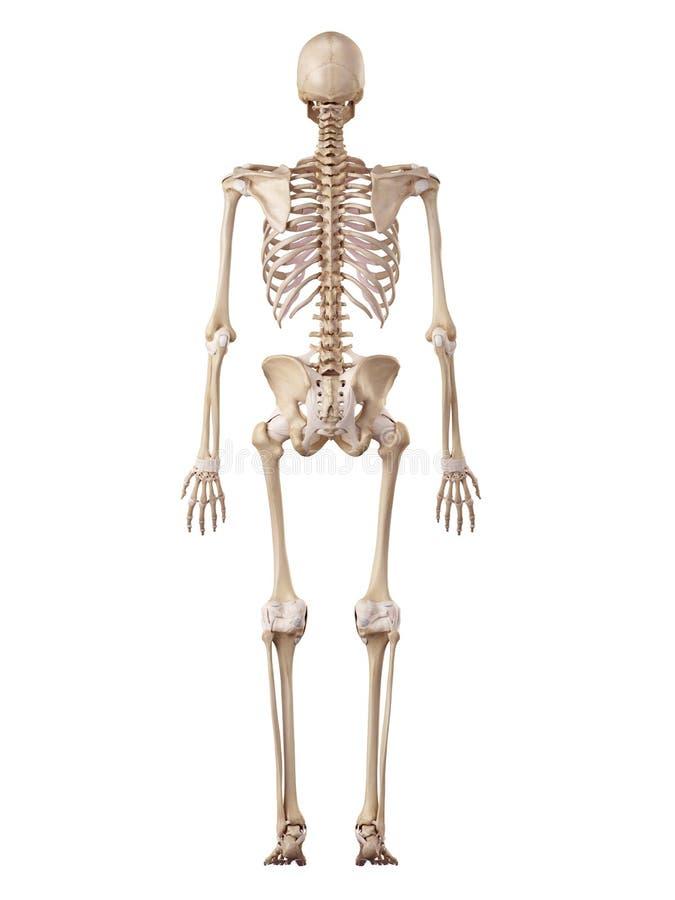 Человеческие скелет и лигаменты иллюстрация штока