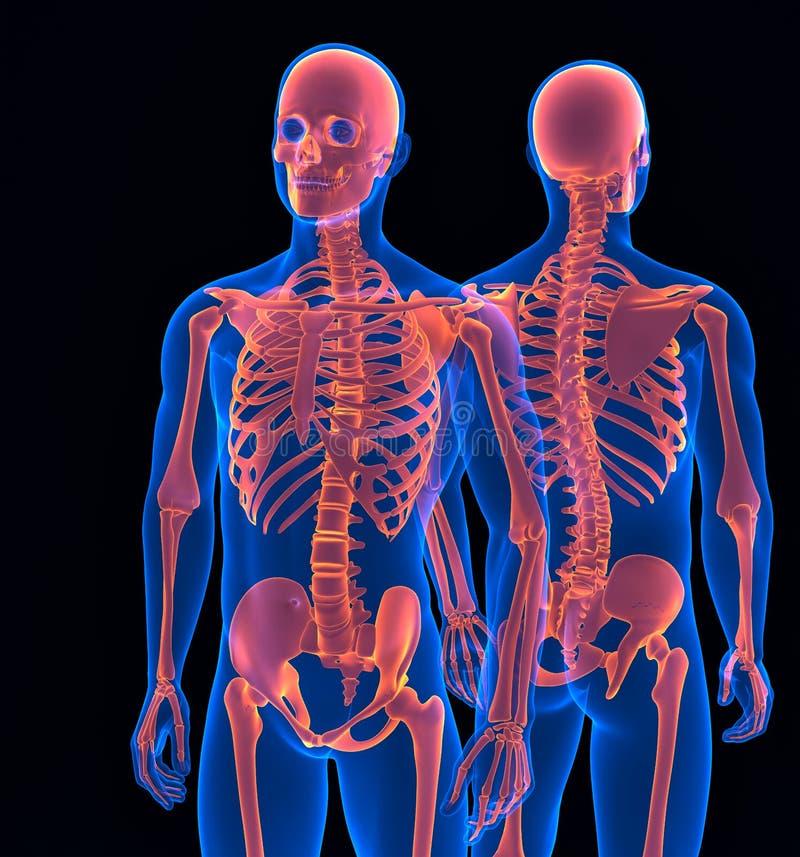 Человеческий конец скелета вверх Передний и задний взгляд Содержит путь клиппирования иллюстрация вектора