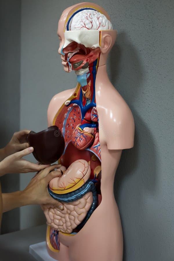Человеческий манекен анатомии стоковое изображение