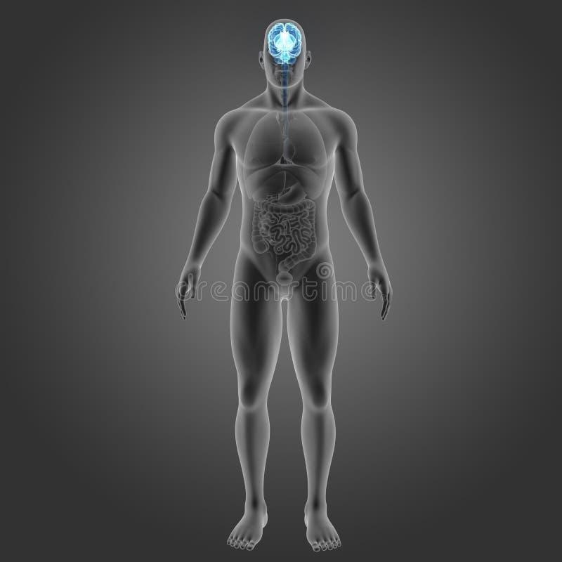 Человеческий мозг с взглядом органов anterior иллюстрация вектора