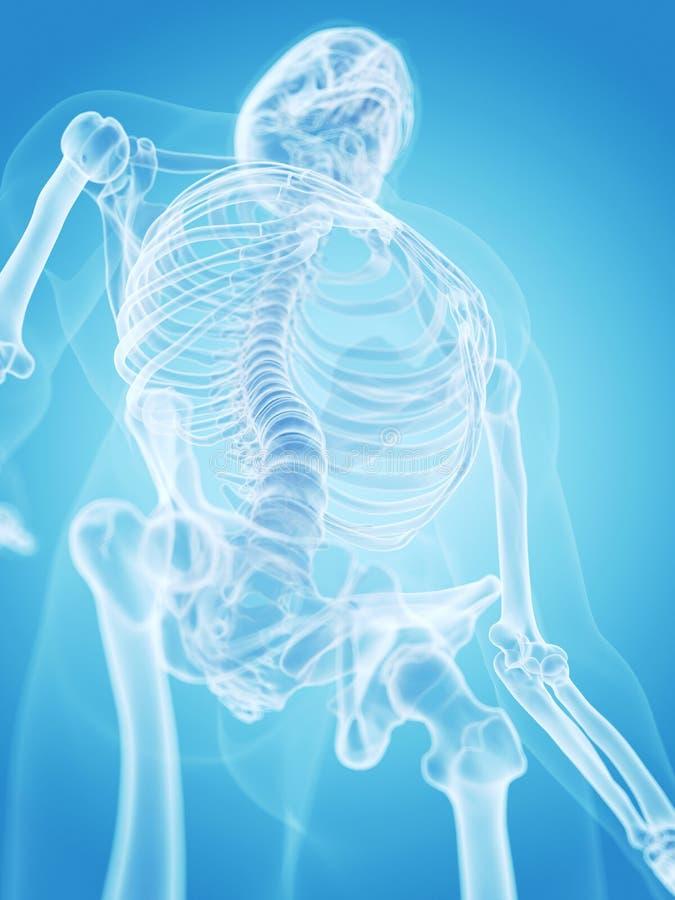 Человеческий скелет - торакс бесплатная иллюстрация