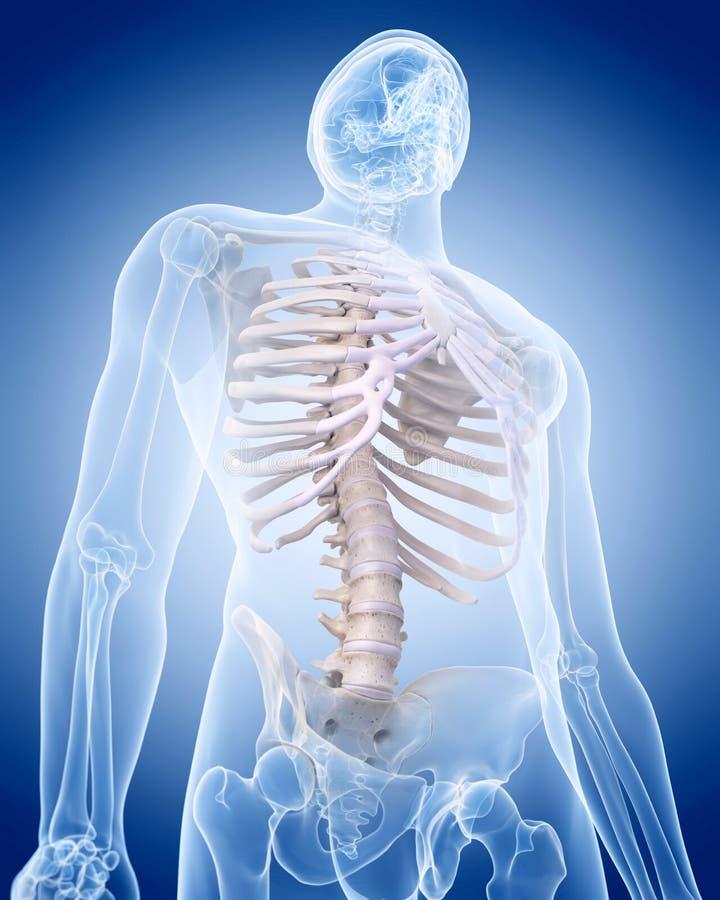 Человеческий скелет - торакс иллюстрация штока