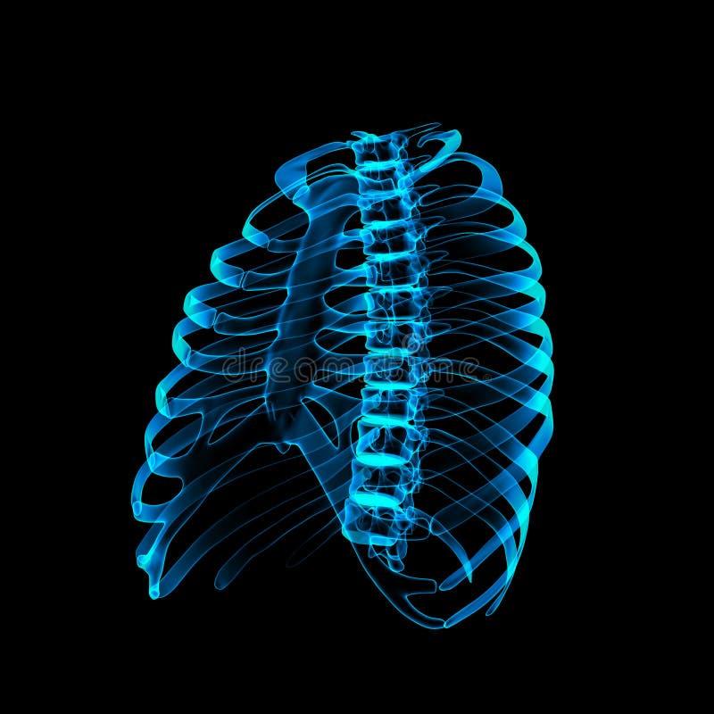 Человеческий скелет стоковая фотография