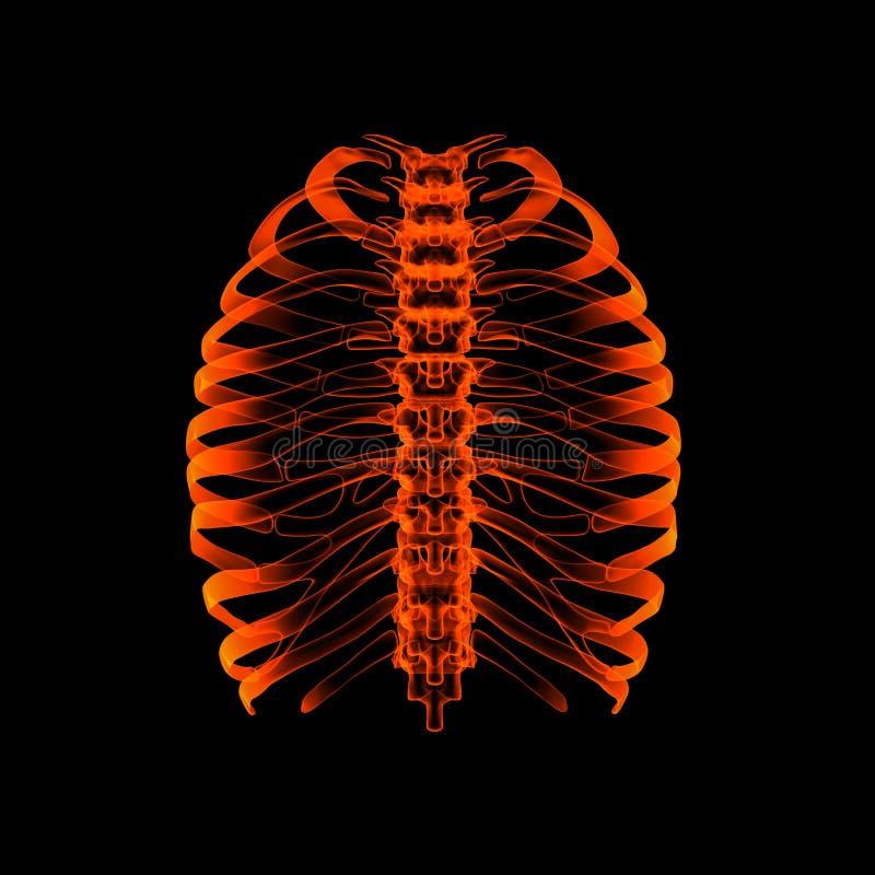 Человеческий скелет стоковые изображения rf