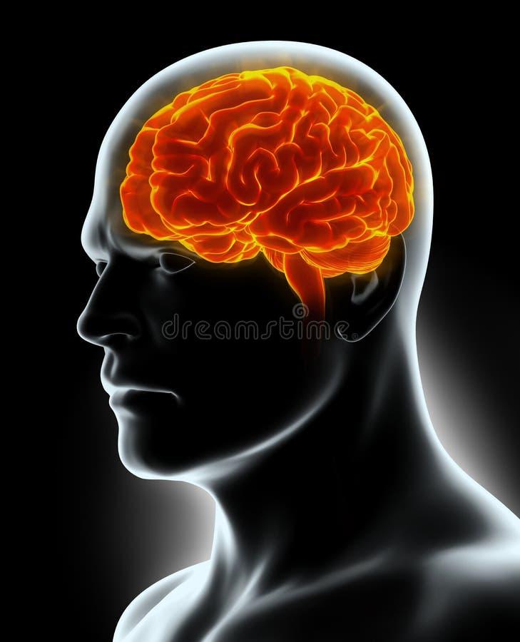 Человеческое внутреннее органическое - мозг иллюстрация вектора