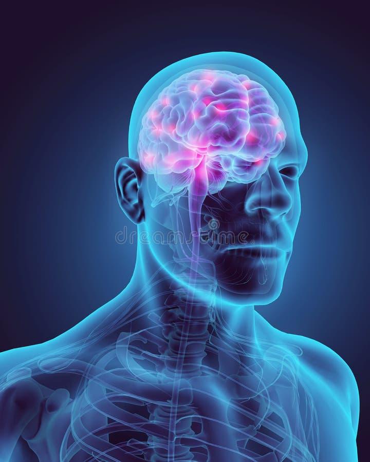Человеческое внутреннее органическое - человеческий мозг иллюстрация штока