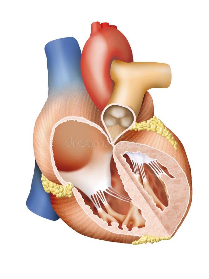 Человеческое поперечное сечение сердца иллюстрация штока