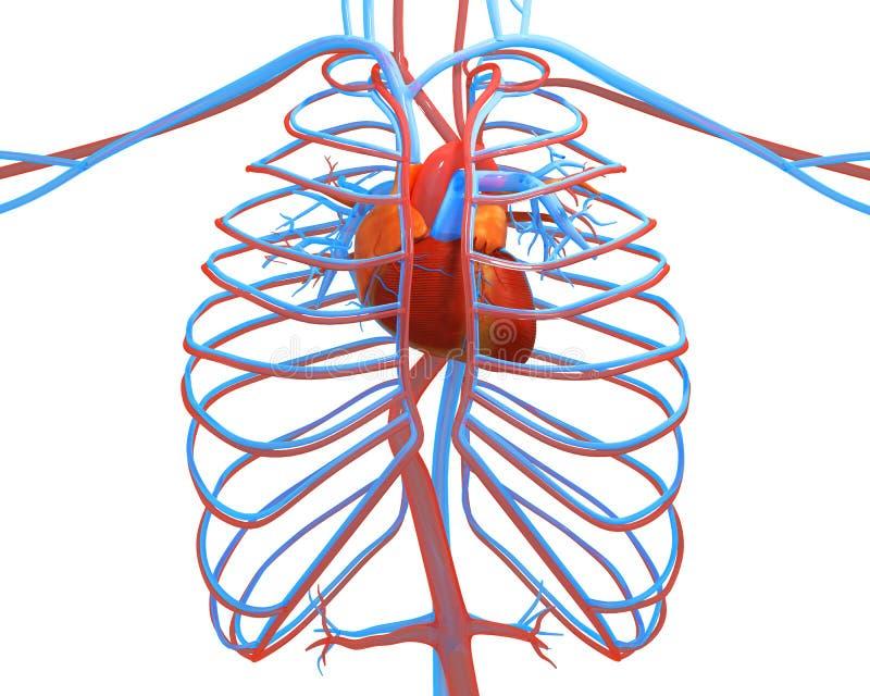 Человеческое сердце с другим izolirovannÑ- сосудов на белом 3d иллюстрация вектора