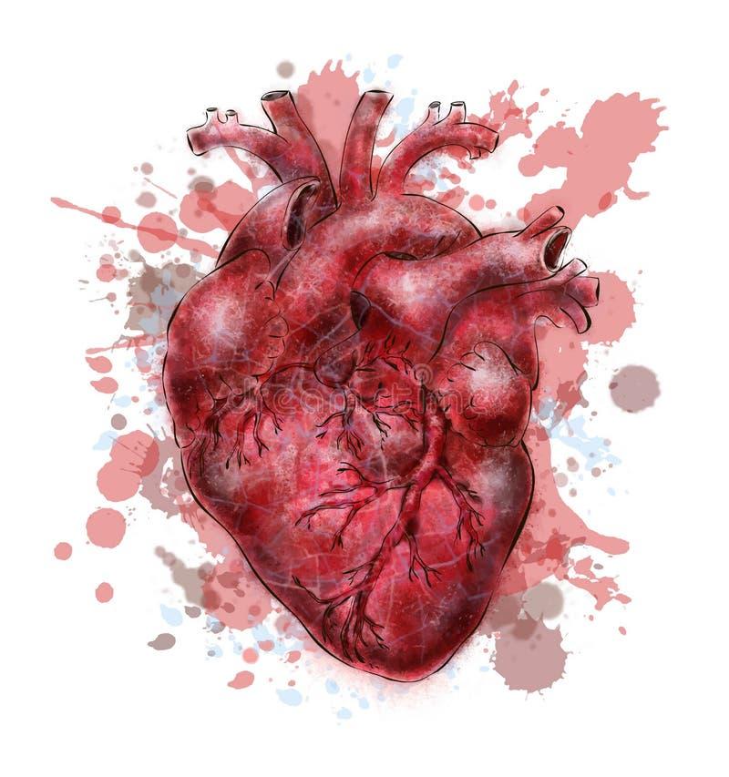 Человеческое сердце иллюстрация вектора