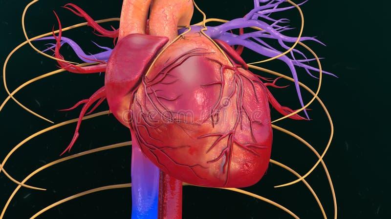 Человеческое сердце стоковые изображения