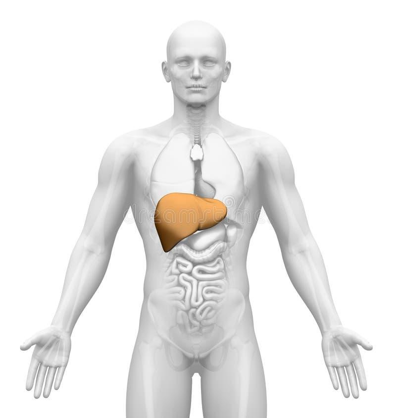 Медицинское воображение - мыжские органы - печенка иллюстрация штока