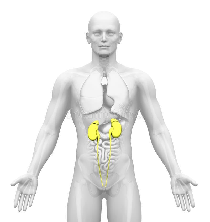 Медицинское воображение - мыжские органы - почки иллюстрация вектора