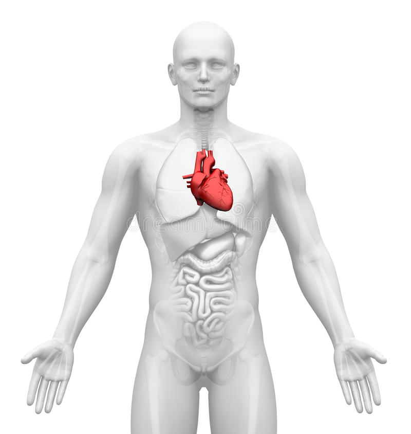 Медицинское воображение - мыжские органы - сердце бесплатная иллюстрация
