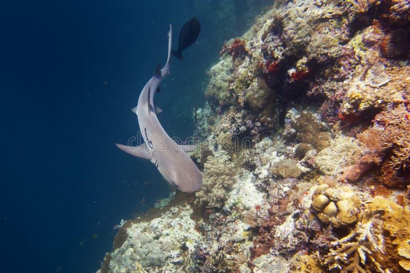 Челюсти акулы рифа готовые для того чтобы атаковать стоковое фото rf