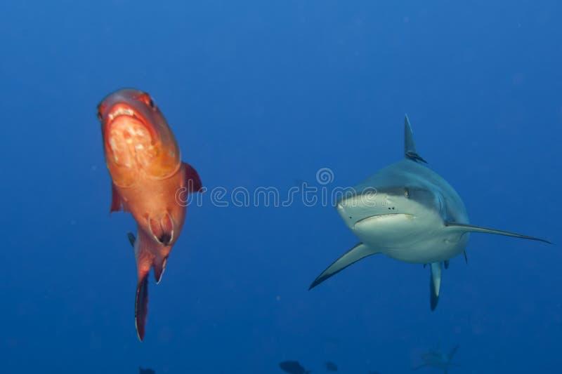 Челюсти акулы серого цвета готовые для того чтобы атаковать портрет underwater близкий поднимающий вверх стоковые изображения