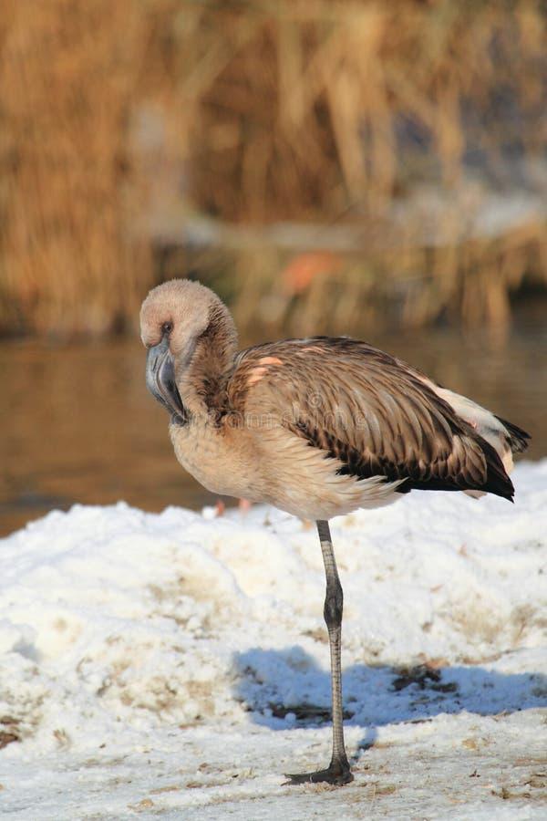Чилийский juvenile фламингоа стоковые фото