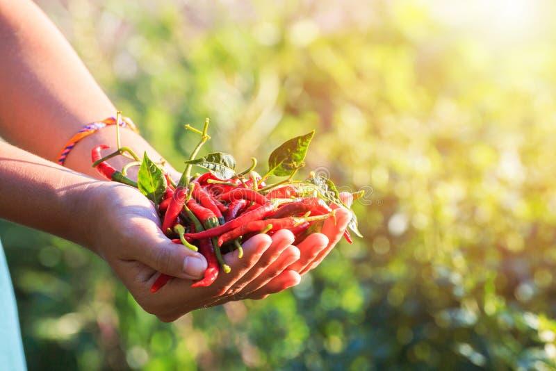 Чили владением рук в ферме стоковые фото
