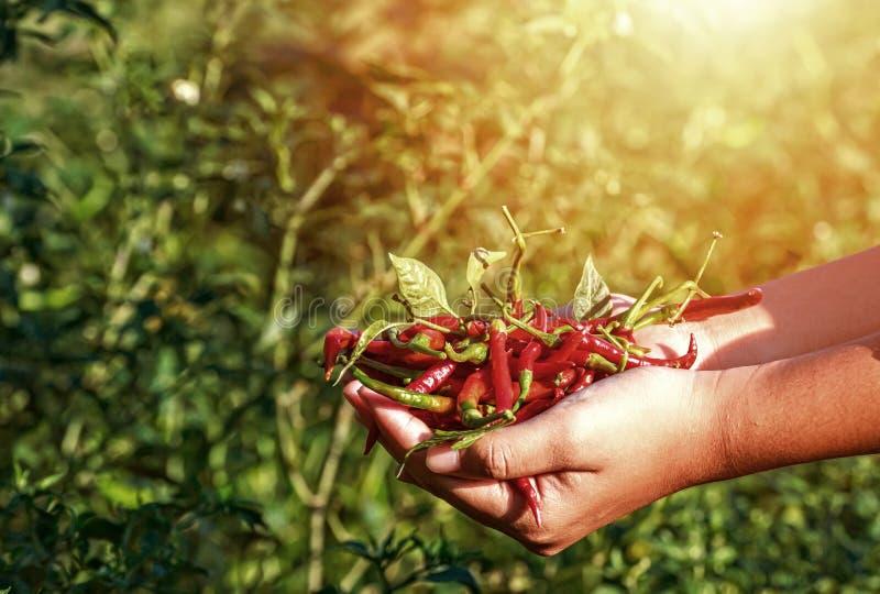 Чили владением рук в ферме стоковые изображения rf