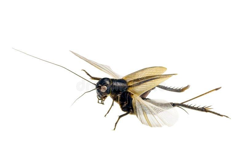 чирикая lepidogryllus сверчка comparatus медленное стоковая фотография rf