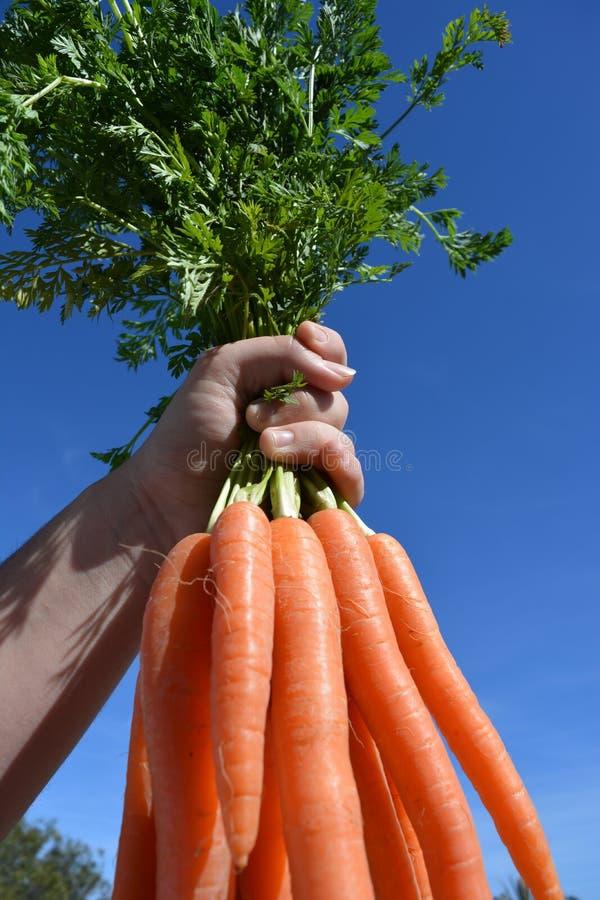 Чистая еда Женщина держа свежий пук морковей, конец вверх стоковое изображение