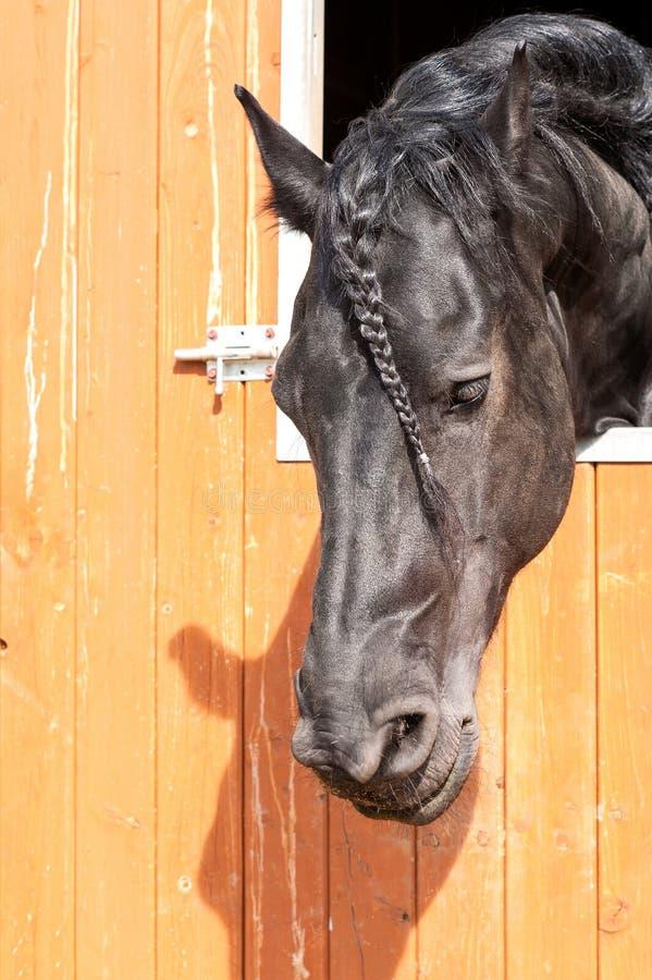 Чистоплеменный заплетенный черный портрет лошади Friesian Outdoors изображение стоковые изображения rf