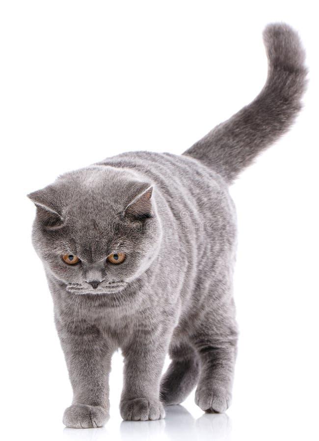 Чистоплеменный кот Хорошо выхоленный котенок Концепция любимчика, комфорта, влюбленности и спокойствия Серый кот - великобританск стоковая фотография