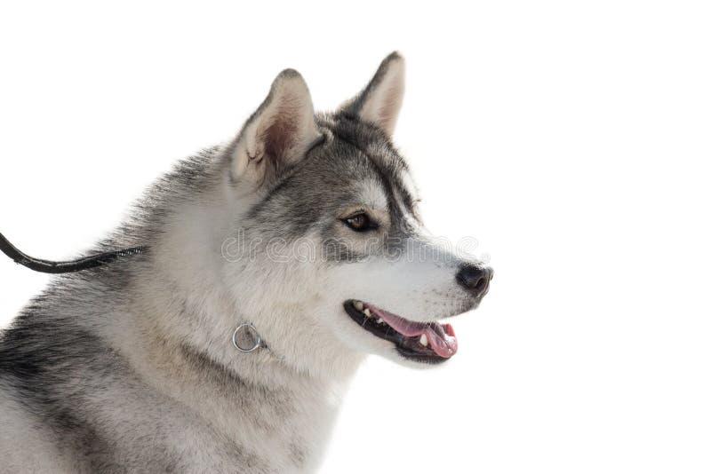 Чистоплеменная осиплая собака изолированная на белой предпосылке стоковые изображения rf