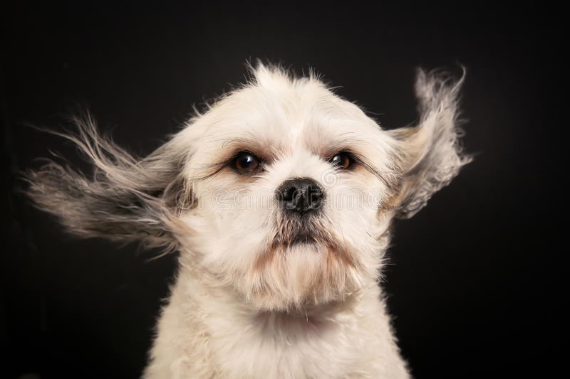Download Чистоплеменная собака Havanese Стоковое Фото - изображение насчитывающей родословная, конец: 40582820