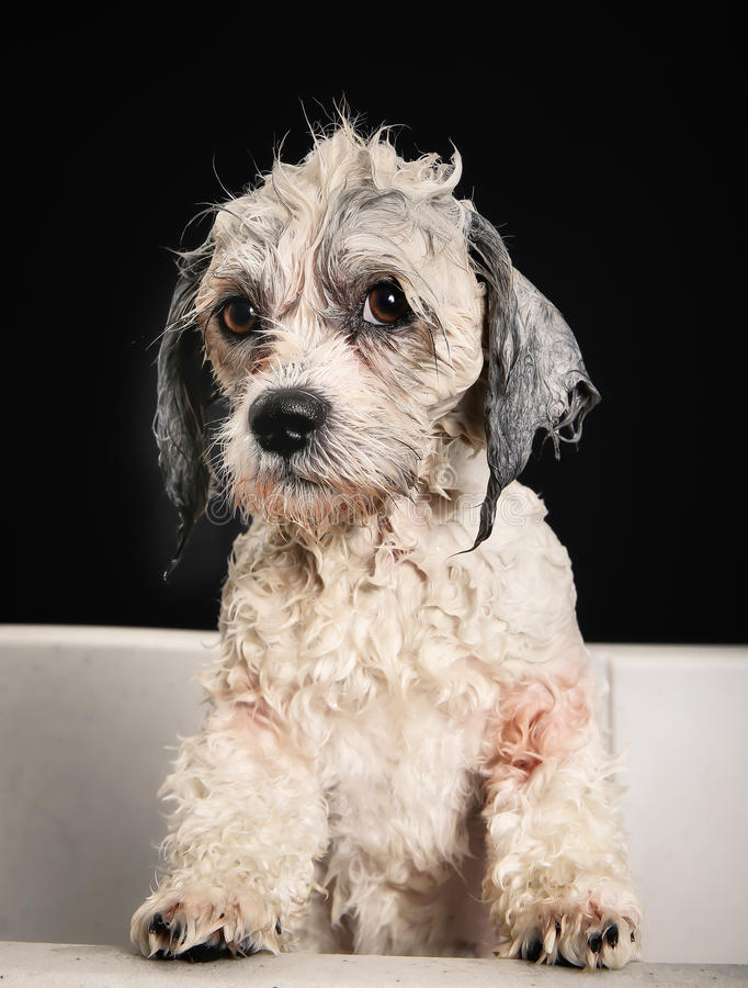 Download Чистоплеменная собака Havanese Стоковое Фото - изображение насчитывающей салон, мило: 40582846
