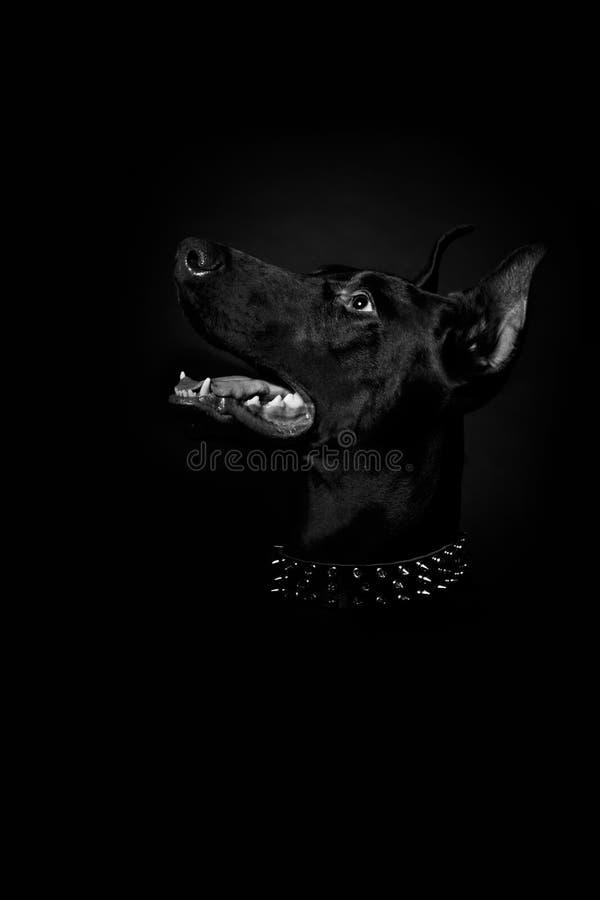 Чистоплеменная собака Pinscher Doberman в предпосылке черноты студии стоковые фотографии rf