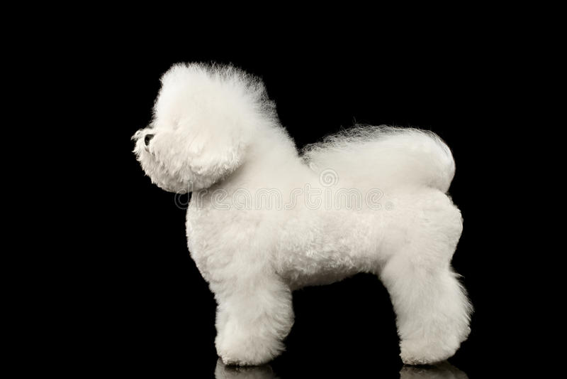 Чистоплеменное белое положение собаки Bichon Frise, смотря вверх изолированную черноту стоковая фотография