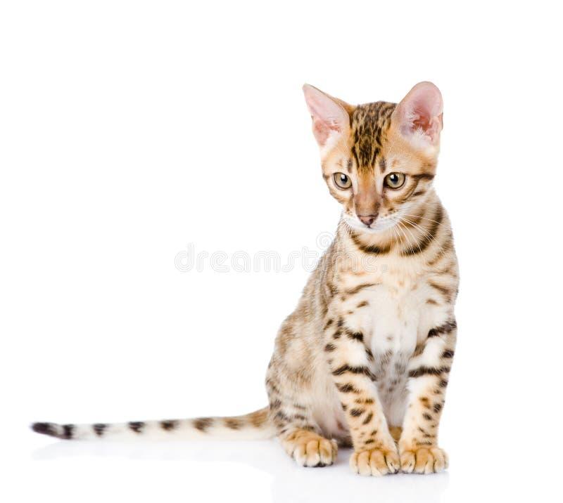 Чистоплеменный котенок Бенгалии На белой предпосылке стоковое изображение rf