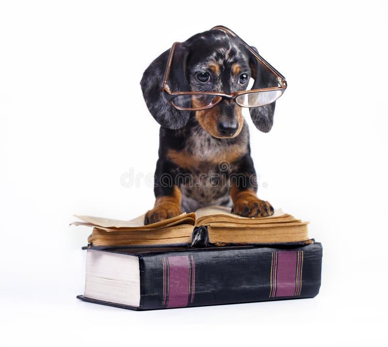 Чистоплеменный щенок таксы стоковые изображения