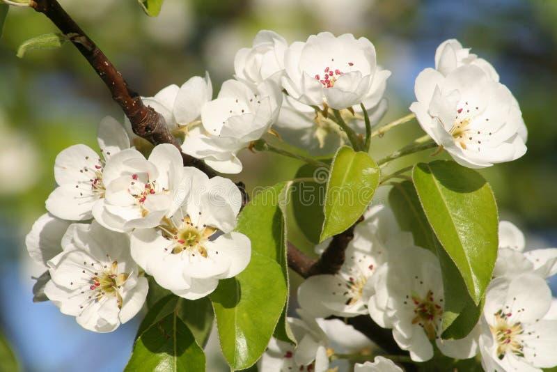 Чистые белые цветения Яблока стоковое фото rf