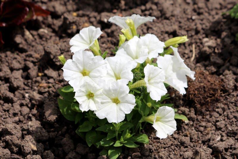 Чистые белые цветки петуньи плотно засаженные в небольшом кусте окруженном с салатовыми листьями и сухой почвой в местном городск стоковое фото