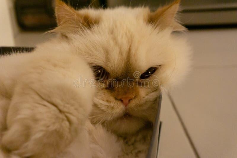 Чистый белый кот спать в коробке ботинка стоковые изображения rf