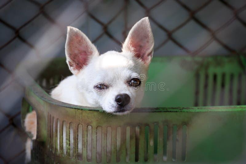 Чихуахуа в клетке стоковая фотография rf