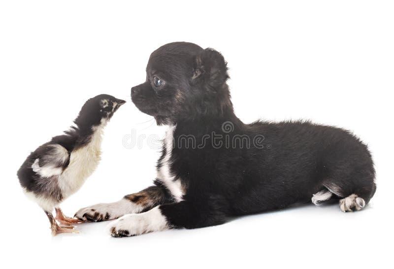Чихуахуа и цыпленок щенка стоковое изображение