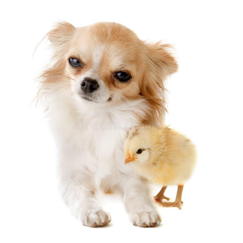 Чихуахуа и цыпленок стоковая фотография