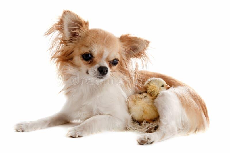 Чихуахуа и цыпленок стоковая фотография rf