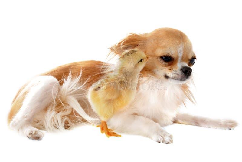 Чихуахуа и цыпленок стоковое изображение rf